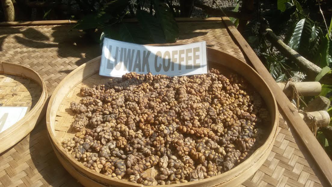 Luwak coffee kavove plantaze